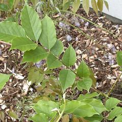 Leaves: Wisteria floribunda. ~ By Andrew Nelson. ~ Copyright © 2021 Andrew Nelson. ~ andrew.nelson[at]oswego.edu   ~ Flora of Rice Creek Field Station - www.oswego.edu/academics/opportunities/rice_creek_field_station