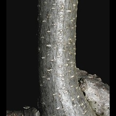 Bark: Wisteria frutescens. ~ By Steven Baskauf. ~ Copyright © 2021 CC-BY-NC-SA. ~  ~ Bioimages - www.cas.vanderbilt.edu/bioimages/frame.htm