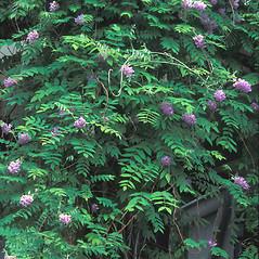 Plant form: Wisteria frutescens. ~ By William Cullina. ~ Copyright © 2021 William Cullina. ~ bill[at]williamcullina.com