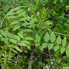 Leaves: Wisteria frutescens. ~ By Will Cook. ~ Copyright © 2021 Will Cook. ~ cwcook[at]duke.edu, carolinanature.com ~ North Carolina Plant Photos - www.carolinanature.com/plants/