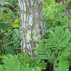 Bark: Castanea dentata. ~ By Alexey Zinovjev. ~ Copyright © 2021. ~ webmaster[at]salicicola.com ~ Salicicola - www.salicicola.com/