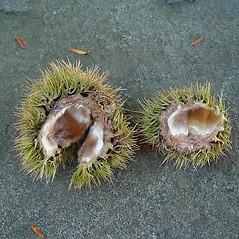 Fruits: Castanea dentata. ~ By Arthur Haines. ~ Copyright © 2021. ~ arthurhaines[at]wildblue.net