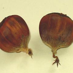 Fruits: Castanea dentata. ~ By Alexey Zinovjev. ~ Copyright © 2021. ~ webmaster[at]salicicola.com ~ Salicicola - www.salicicola.com/