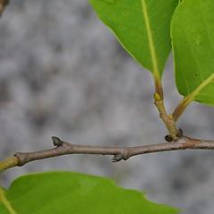 Winter buds: Castanea dentata. ~ By Steven Baskauf. ~ Copyright © 2021 CC-BY-NC-SA. ~  ~ Bioimages - www.cas.vanderbilt.edu/bioimages/frame.htm