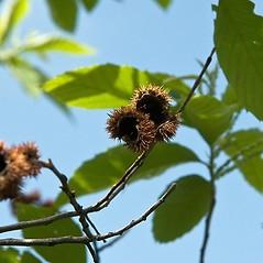 Fruits: Castanea pumila. ~ By Paul S. Drobot. ~ Copyright © 2020 Paul S. Drobot. ~ www.plantstogrow.com, www.plantstockphotos.com ~ Robert W. Freckmann Herbarium, U. of Wisconsin-Stevens Point