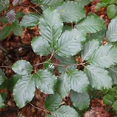 Leaves: Fagus sylvatica. ~ By Bruce Kirchoff. ~ Copyright © 2020 CC-BY-NC-SA. ~  ~ Bioimages - www.cas.vanderbilt.edu/bioimages/frame.htm