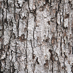 Bark: Quercus alba. ~ By Glenn Dreyer. ~ Copyright © 2021 Glenn Dreyer. ~ None needed