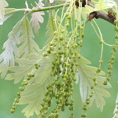 Flowers: Quercus alba. ~ By Arieh Tal. ~ Copyright © 2021 Arieh Tal. ~ http://botphoto.com/ ~ Arieh Tal - botphoto.com