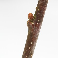 Winter buds: Quercus alba. ~ By Arieh Tal. ~ Copyright © 2021 Arieh Tal. ~ http://botphoto.com/ ~ Arieh Tal - botphoto.com