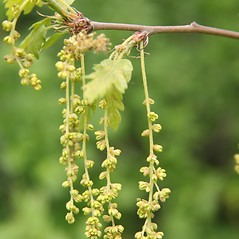 Flowers: Quercus cerris. ~ By Robert Vid_ki. ~ Copyright © 2020 CC BY-NC 3.0. ~  ~ Bugwood - www.bugwood.org/