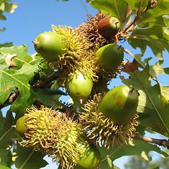 Fruits: Quercus cerris. ~ By Piero Amorati. ~ Copyright © 2021 CC BY 3.0. ~  ~ Bugwood - www.bugwood.org/