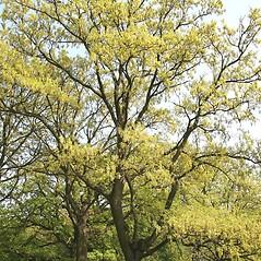 Plant form: Quercus cerris. ~ By Robert Vid_ki. ~ Copyright © 2021 CC BY-NC 3.0. ~  ~ Bugwood - www.bugwood.org/