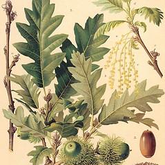 Leaves: Quercus cerris. ~ By Zelimir Borzan. ~ Copyright © 2021 CC BY-NC 3.0. ~  ~ Bugwood - www.bugwood.org/