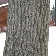 Bark: Quercus coccinea. ~ By Arieh Tal. ~ Copyright © 2021 Arieh Tal. ~ http://botphoto.com/ ~ Arieh Tal - botphoto.com