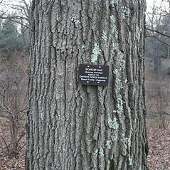 Bark: Quercus coccinea. ~ By Arieh Tal. ~ Copyright © 2020 Arieh Tal. ~ http://botphoto.com/ ~ Arieh Tal - botphoto.com