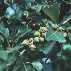Fruits: Quercus ilicifolia. ~ By Glenn Dreyer. ~ Copyright © 2020 Glenn Dreyer. ~ None needed
