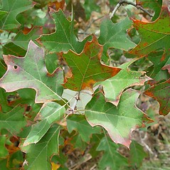 Leaves: Quercus ilicifolia. ~ By Arthur Haines. ~ Copyright © 2020. ~ arthurhaines[at]wildblue.net