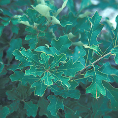 Leaves: Quercus ilicifolia. ~ By Cheryl Lowe. ~ Copyright © 2020 New England Wild Flower Society. ~ Image Request, images[at]newenglandwild.org