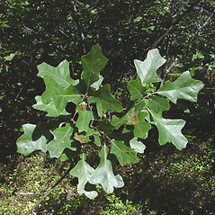 Leaves: Quercus ilicifolia. ~ By Donald Cameron. ~ Copyright © 2020 Donald Cameron. ~ No permission needed for non-commercial uses, with proper credit
