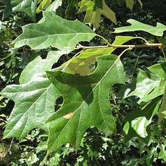Leaves: Quercus ilicifolia. ~ By Donna Kausen. ~ Copyright © 2020 Donna Kausen. ~ 33 Bears Den, Addison, ME 04606