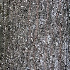 Bark: Quercus imbricaria. ~ By Will Cook. ~ Copyright © 2019 Will Cook. ~ cwcook[at]duke.edu, carolinanature.com ~ North Carolina Plant Photos - www.carolinanature.com/plants/
