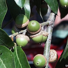 Fruits: Quercus imbricaria. ~ By Paul Wray. ~ Copyright © 2019 CC BY-NC 3.0. ~  ~ Bugwood - www.bugwood.org/
