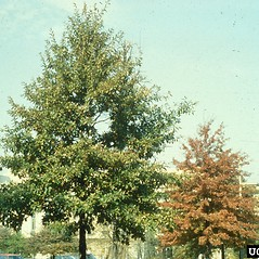 Plant form: Quercus imbricaria. ~ By Richard Webb. ~ Copyright © 2021 CC BY-NC 3.0. ~  ~ Bugwood - www.bugwood.org/