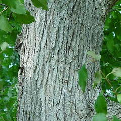 Bark: Quercus macrocarpa. ~ By Arthur Haines. ~ Copyright © 2020. ~ arthurhaines[at]wildblue.net