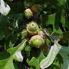 Fruits: Quercus macrocarpa. ~ By Arthur Haines. ~ Copyright © 2020. ~ arthurhaines[at]wildblue.net