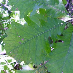 Leaves: Quercus macrocarpa. ~ By Arthur Haines. ~ Copyright © 2020. ~ arthurhaines[at]wildblue.net