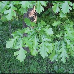 Leaves: Quercus macrocarpa. ~ By Arieh Tal. ~ Copyright © 2019 Arieh Tal. ~ www.nttlphoto.com ~ Arieh Tal - www.nttlphoto.com