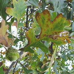 Leaves: Quercus macrocarpa. ~ By Donald Cameron. ~ Copyright © 2020 Donald Cameron. ~ No permission needed for non-commercial uses, with proper credit
