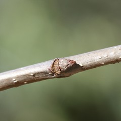 Winter buds: Quercus macrocarpa. ~ By Arieh Tal. ~ Copyright © 2021 Arieh Tal. ~ http://botphoto.com/ ~ Arieh Tal - botphoto.com