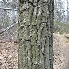 Bark: Quercus montana. ~ By Arieh Tal. ~ Copyright © 2021 Arieh Tal. ~ www.nttlphoto.com ~ Arieh Tal - www.nttlphoto.com