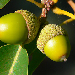 Fruits: Quercus montana. ~ By Jason Sachs. ~ Copyright © 2021 Jason Sachs. ~ No permission needed for non-commercial uses, with proper credit