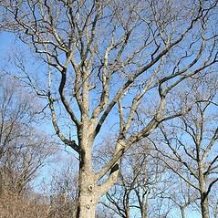 Plant form: Quercus montana. ~ By Arieh Tal. ~ Copyright © 2021 Arieh Tal. ~ http://botphoto.com/ ~ Arieh Tal - botphoto.com