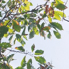 Leaves: Quercus muehlenbergii. ~ By Arieh Tal. ~ Copyright © 2021 Arieh Tal. ~ http://botphoto.com/ ~ Arieh Tal - botphoto.com