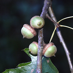 Fruits: Quercus palustris. ~ By Glenn Dreyer. ~ Copyright © 2021 Glenn Dreyer. ~ None needed