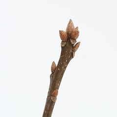 Winter buds: Quercus palustris. ~ By Arieh Tal. ~ Copyright © 2020 Arieh Tal. ~ www.nttlphoto.com ~ Arieh Tal - www.nttlphoto.com