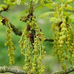 Flowers: Quercus robur. ~ By John Crellin. ~ Copyright © 2021 © J.R. Crellin. ~ Floralimages www.floralimages.co.uk ~ Floral Images - www.floralimages.co.uk