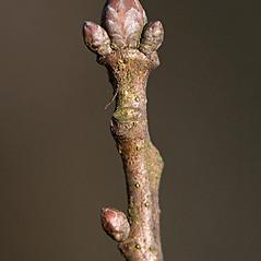 Winter buds: Quercus robur. ~ By Giuseppe Sardi. ~ Copyright © 2021 Giuseppe Sardi. ~ www.parcocurone.it/ambiente/flora/index.php ~ Acta Plantarum -  www.actaplantarum.org
