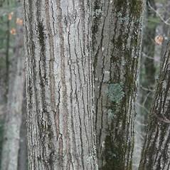 Bark: Quercus rubra. ~ By Arieh Tal. ~ Copyright © 2020 Arieh Tal. ~ www.nttlphoto.com ~ Arieh Tal - www.nttlphoto.com