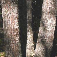 Bark: Quercus rubra. ~ By Marilee Lovit. ~ Copyright © 2021 Marilee Lovit. ~ lovitm[at]gmail.com