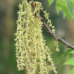 Flowers: Quercus rubra. ~ By Arieh Tal. ~ Copyright © 2021 Arieh Tal. ~ http://botphoto.com/ ~ Arieh Tal - botphoto.com