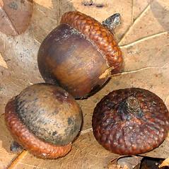 Fruits: Quercus rubra. ~ By Alexey Zinovjev. ~ Copyright © 2020. ~ webmaster[at]salicicola.com ~ Salicicola - www.salicicola.com/