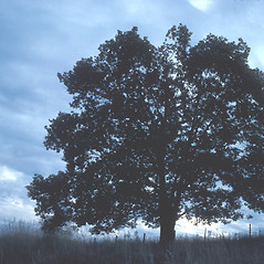 Plant form: Quercus rubra. ~ By John Lynch. ~ Copyright © 2021 New England Wild Flower Society. ~ Image Request, images[at]newenglandwild.org