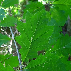 Leaves: Quercus rubra. ~ By Arthur Haines. ~ Copyright © 2021. ~ arthurhaines[at]wildblue.net