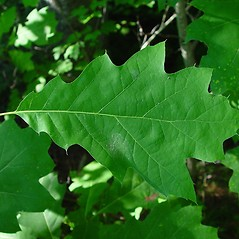 Leaves: Quercus rubra. ~ By Arthur Haines. ~ Copyright © 2020. ~ arthurhaines[at]wildblue.net