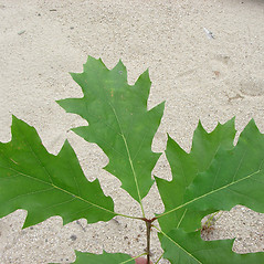 Leaves: Quercus rubra. ~ By Glen Mittelhauser. ~ Copyright © 2021 Glen Mittelhauser. ~ www.mainenaturalhistory.org