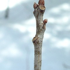 Winter buds: Quercus rubra. ~ By Arthur Haines. ~ Copyright © 2021. ~ arthurhaines[at]wildblue.net